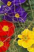 image of coir  - Red yellow violet primrose overlaid coir fibre - JPG