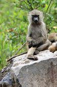 Baboon Posing