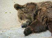 Brown Bear Sleeping