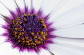 Close-up Of An African Or Cape Daisy (osteospermum) Flower
