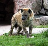 Hyena Looking For Something To Eat