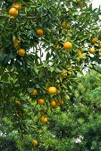 Orange Tree With Ripe Fruit