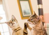 stock photo of bengal cat  - Orange and brown bengal kitten cat looking at reflection in mirror - JPG