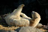 Stretching Polar Bear