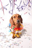 An isolated dachshund on a white background. Carnival theme.