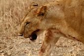 Bloody Lioness Head Shot