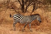 Lone Zebra In The Bush