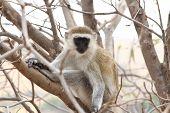 Vervet Monkey Stare