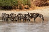 Zebras (equus Quagga) In Watering Hole