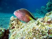 picture of hawkfish  - A Freckled Hawkfish in the Red Sea Egypt - JPG