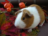 Cute Autumn Guinea Pig