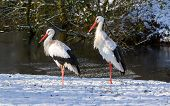 Adult Storks Standing In The Snow