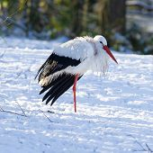 Adult Stork Standing In The Snow