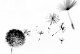 foto of dandelion seed  - Abstract dandelion with seed pods floating away - JPG