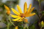 picture of jerusalem artichokes  - Jerusalem artichoke flower close up in summer - JPG