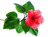 Hibiscus Rosa-sinensis Red