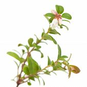 Lingonberry;