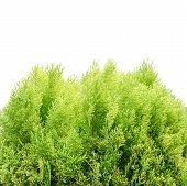 The Young And Green Thuja  - Isolated Over White