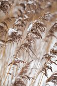 Dry Coastal Reed Cowered With Snow, Vertical Nature Background