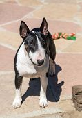 Colored bull terrier posing in the yard