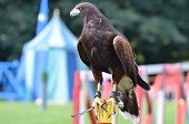 Harris Hawk at exhibition