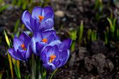 Постер, плакат: The Crocuses Crocus sativus Flowering At Last