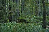 foto of redwood forest  - Redwood Forest in North California State USA. Deep Forest Wilderness.  ** Note: Shallow depth of field - JPG