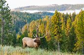 Morning Elk