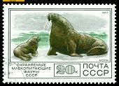 Vintage  Postage Stamp. Walrus And Calf.