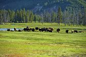 American Buffalo In Yellowstone