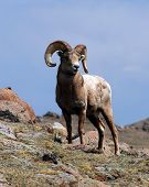 stock photo of rocky-mountains  - A Bighorn Sheep ram surveys his domain in Rocky Mountain National Park. Genuine wildlife in its spectacular natural habitat.