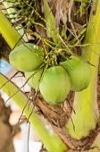 Sweet Green Coconuts At Its Tree