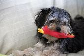 stock photo of toy dog  - Small dog hair black biting a toy red - JPG