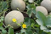 stock photo of melon  - Melons in a vegetable garden selective focus on the front one - JPG