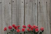 image of mums  - Row of pink mums border wooden fence - JPG