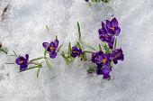 Close Up First Spring Violet Crocuses On Snow