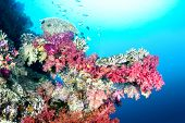 A beautiful color encrusted ledge on a tropical reef in Fiji hosts a multitude of colorful soft and