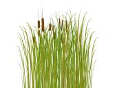 image of bull rushes  - rush and grass isolated on white background - JPG