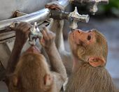 Monkeys drinks water from pipe