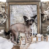 Chinese crested dog puppy standing on a bridge in a winter scenery