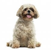 Front view of a Shih tzu sitting, panting, looking at the camera, isolated on white