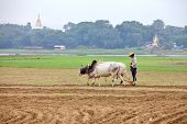 AMARAPURA, MYANMAR - DEC 09, 2013: Plowing rice fields with an ox team. The farmers plows the land a