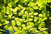 Branch Of Beech Tree With Leaves