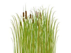 picture of bull rushes  - rush and grass isolated on white background - JPG