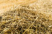 Straw On The Field From Close