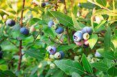 Blueberries ripening on the bush