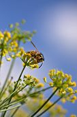 Wasp on a fennel flower on a beautiful summers day.