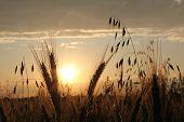 Atmospheric Harvesting Field At Sunset