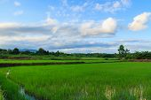 Green Rice Field And Blue Sky