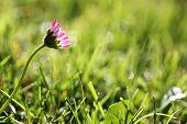 One Daisy Flower In The Meadow